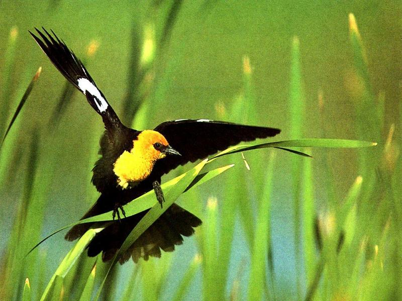 Yellow-headed Blackbird (Xanthocephalus xanthocephalus) <!--노란머리찌르레기사촌,노랑머리흑조(----黑鳥)-->; DISPLAY FULL IMAGE.