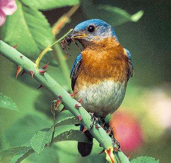 Bluebird (Sialia sp.) <!--파랑지빠귀(북미)-->; Image ONLY