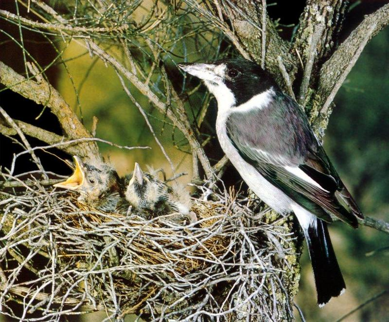 Grey Butcherbird (Cracticus torquatus) <!--회색백정새-->; DISPLAY FULL IMAGE.