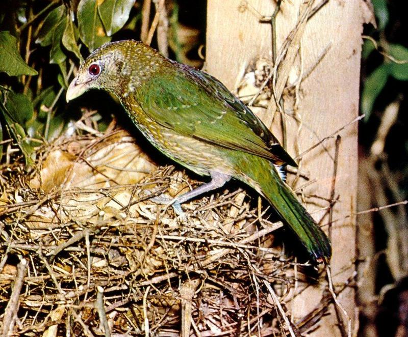 Green Catbird (Ailuroedus crassirostris) <!--녹색괭이소리집짓기새(호주)-->; DISPLAY FULL IMAGE.