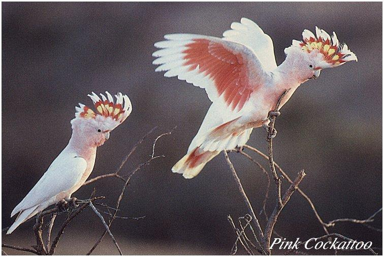 Pink Cockatoo (Cacatua leadbeateri) <!--분홍관앵무(--冠鸚鵡)-->; Image ONLY