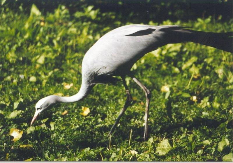 Blue Crane (Anthropoides paradisea) <!--낙원두루미-->; DISPLAY FULL IMAGE.