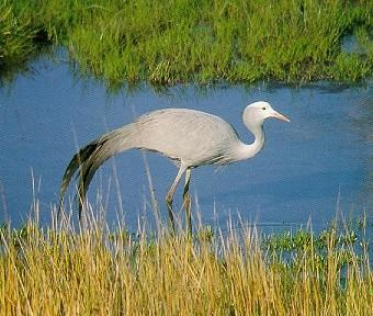 Blue Crane (Anthropoides paradisea) <!--낙원두루미-->; Image ONLY