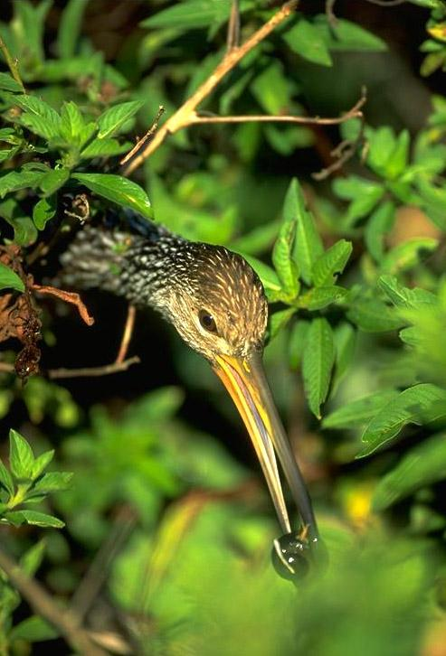 Limpkin (Aramus guarauna) <!--두루미사촌-->; Image ONLY