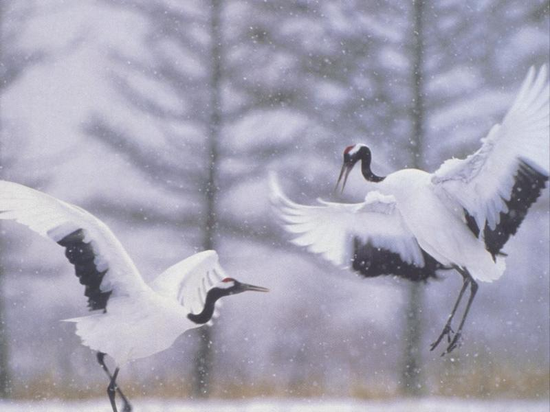 animal26-Manchurian Red-crowned Cranes-pair dancing in snow.jpg