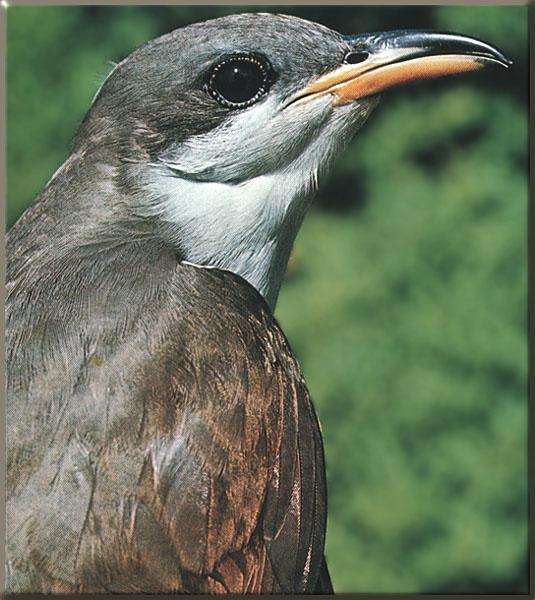 Yellow-billed Cuckoo (Coccyzus americanus) <!--노랑부리뻐꾸기-->; Image ONLY