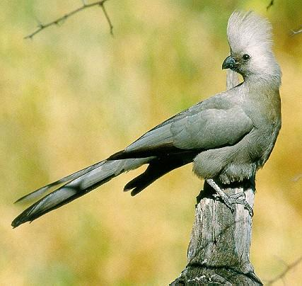 Grey Go-away-bird (Corythaixoides concolor) <!--회색도가머리뻐꾸기-->; Image ONLY