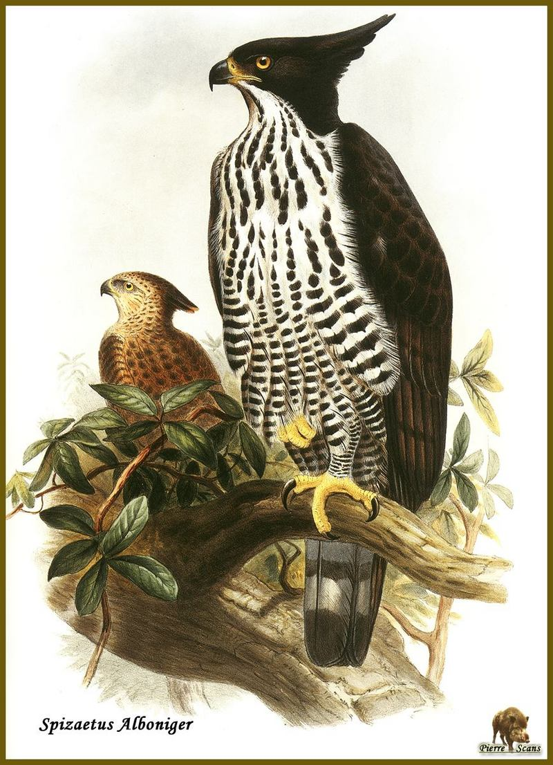 Blyth's Hawk-eagle (Spizaetus alboniger) {!--흑백뿔매-->; DISPLAY FULL IMAGE.