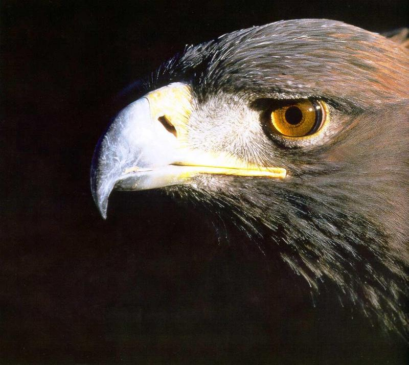 Golden Eagle (Aquila chrysaetos)<!--검독수리-->; DISPLAY FULL IMAGE.