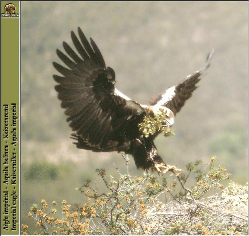 Eastern Imperial Eagle in flight (Aquila heliaca) <!--흰죽지수리-->; DISPLAY FULL IMAGE.