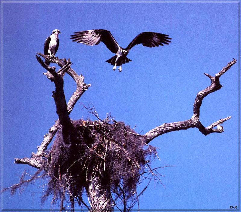 Osprey nest (Pandion haliaetus)<!--물수리-->; DISPLAY FULL IMAGE.