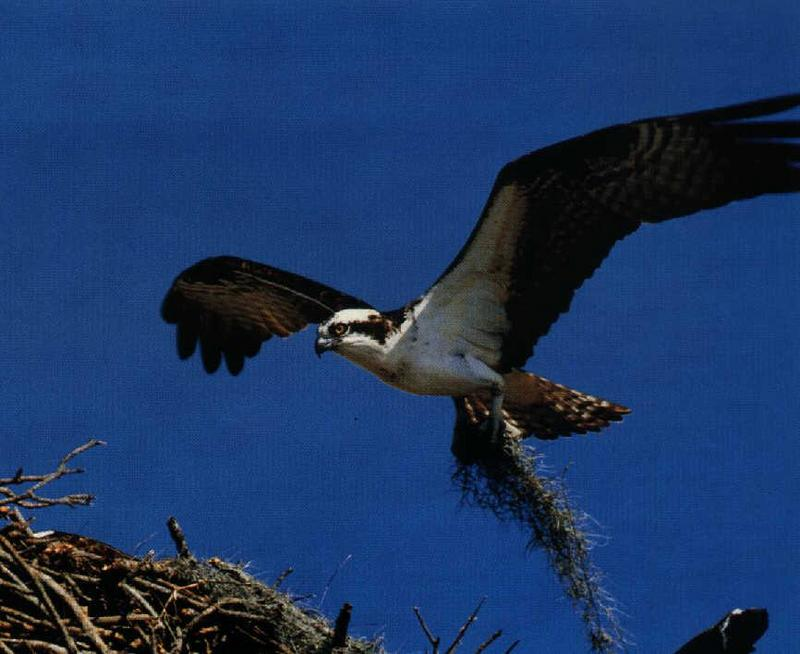 Osprey (Pandion haliaetus) <!--물수리-->; DISPLAY FULL IMAGE.