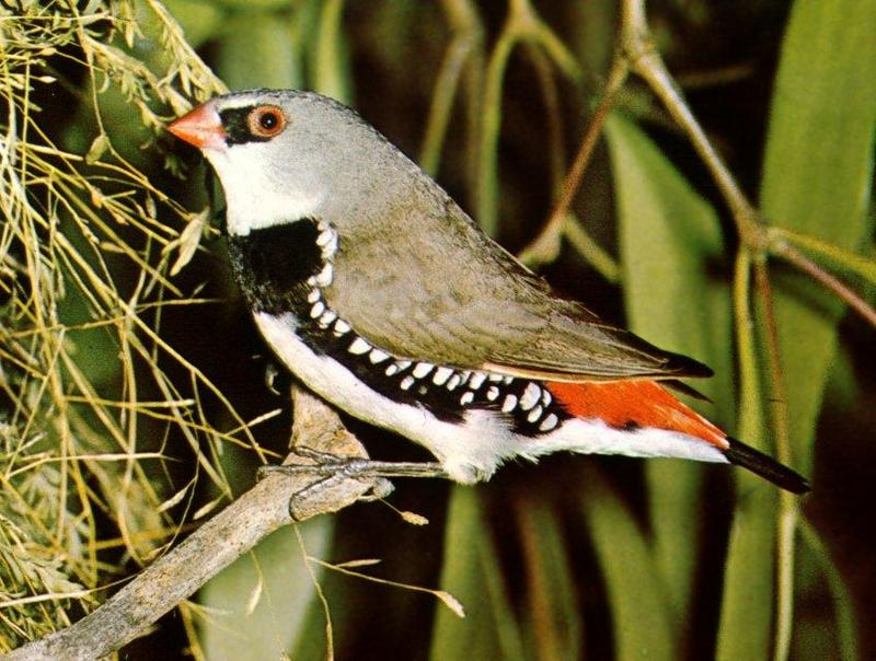 Diamond Firetail (Stagonopleura guttata) <!--다이아몬드붉은꼬리(밀랍부리류)-->; DISPLAY FULL IMAGE.