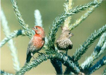 House Finch (Carpodacus mexicanus) <!--멕시코양진이-->; Image ONLY