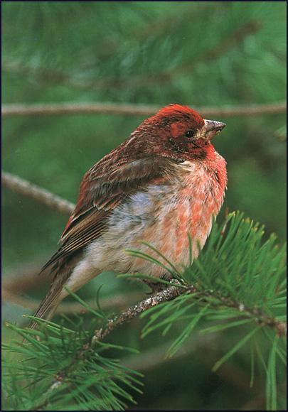 Purple Finch (Carpodacus purpureus) <!--붉은양진이-->; Image ONLY