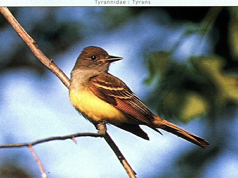 Great Crested Flycatcher (Myiarchus crinitus) <!--뿔딱새-->; Image ONLY