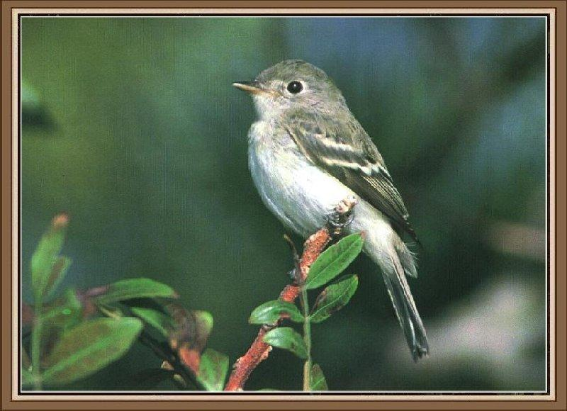 Least Flycatcher (Empidonax minimus) <!--아메리카쇠딱새-->; Image ONLY