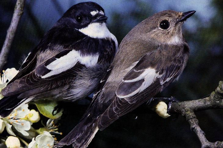 European Pied Flycatcher (Ficedula hypoleuca) <!--알락딱새-->; Image ONLY