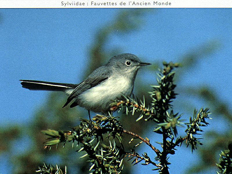 Blue-grey Gnatcatcher male (Polioptila caerulea) <!--푸른흉내내기새-->; Image ONLY