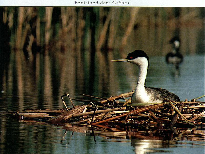 Western Grebe (Aechmophorus occidentalis) <!--윗부리논병아리-->; Image ONLY