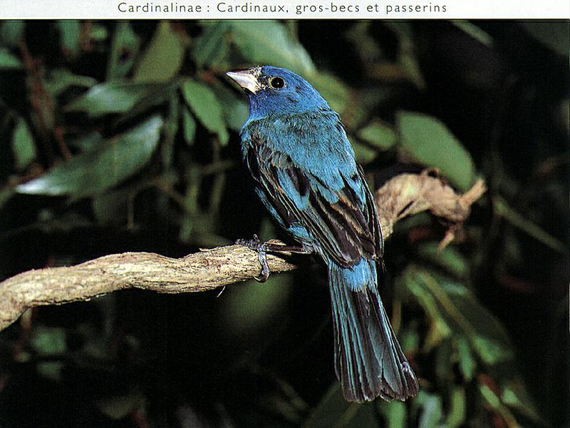 Blue Grosbeak (Guiraca caerulea) <!--청밀화부리-->; Image ONLY