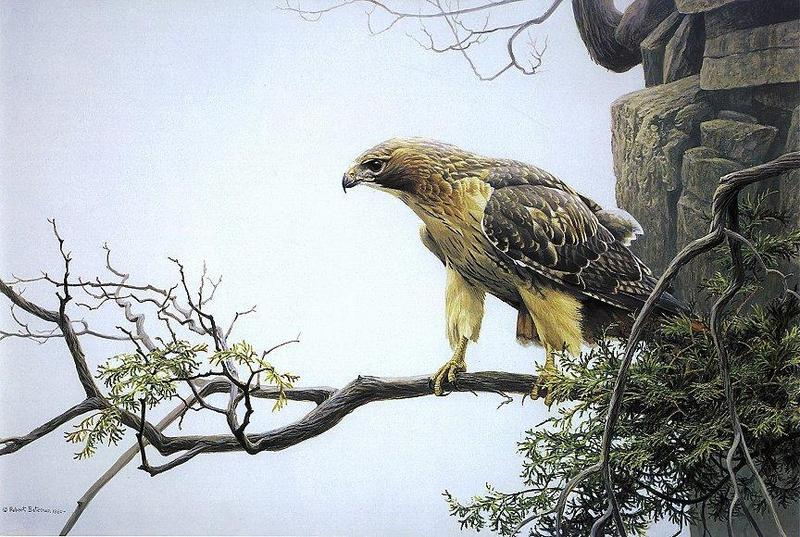 [Animal Art - Robert Bateman] Red-tailed Hawk (Buteo jamaicensis) <!--붉은꼬리매-->; DISPLAY FULL IMAGE.
