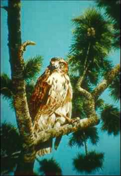 Red-tailed Hawk (Buteo jamaicensis) {!--붉은꼬리매-->; Image ONLY