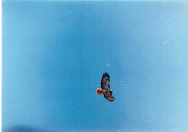 Red-tailed Hawk in flight (Buteo jamaicensis) <!--붉은꼬리매-->; Image ONLY