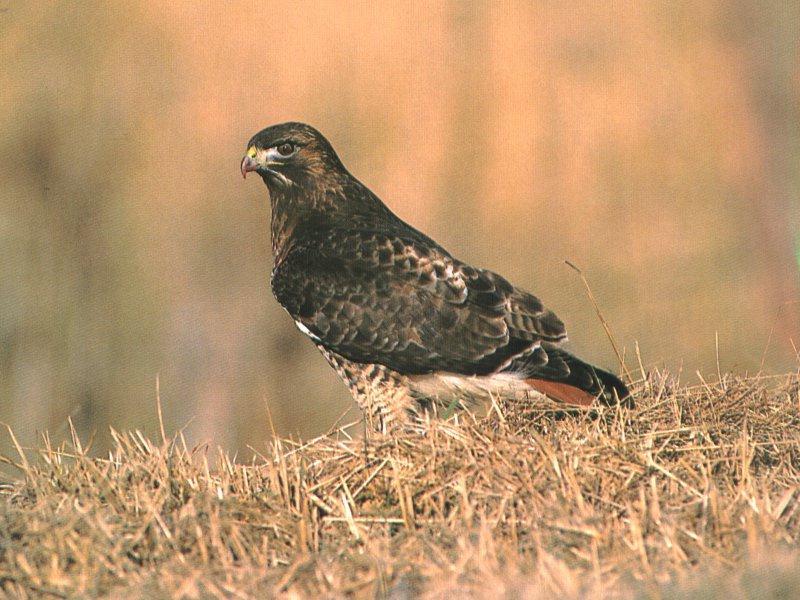 RedTail Hawk-On Grass Field.jpg