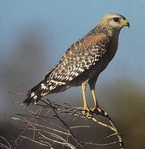 Red-shouldered Hawk (Buteo lineatus) <!--붉은죽지매-->; Image ONLY
