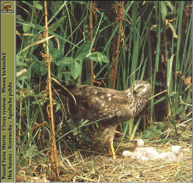 Northern Harrier, Hen Harrier (Circus cyaneus) <!--잿빛개구리매-->; DISPLAY FULL IMAGE.