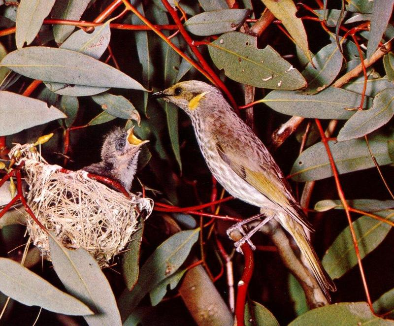 Honeyeater and chick in nest (Meliphagidae) <!--꿀빨이새-->; DISPLAY FULL IMAGE.
