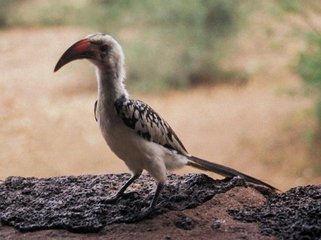 Red-billed Hornbill (Tockus erythrorhynchus) <!--붉은부리코뿔새-->; Image ONLY