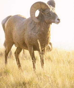 Bighorn Sheep (Ovis canadensis) <!--큰뿔양-->; Image ONLY