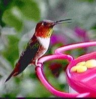 Allen's Hummingbird (Selasphorus sasin) <!--알렌벌새-->; Image ONLY