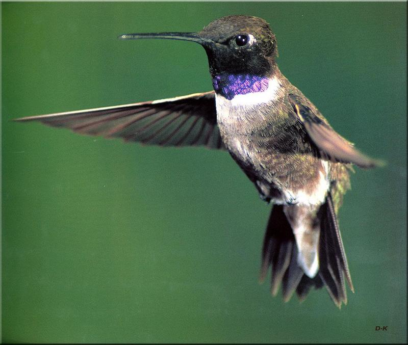Black-chinned Hummingbird (Archilochus alexandri) <!--검은뺨벌새-->; DISPLAY FULL IMAGE.