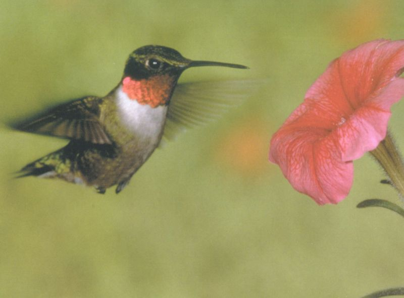 Ruby-throated Hummingbird (Archilochus colubris) <!--붉은목벌새-->; Image ONLY