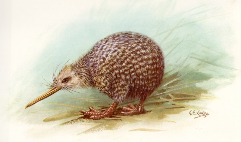 Little Spotted Kiwi (Apteryx owenii) <!--쇠알락키위-->; DISPLAY FULL IMAGE.