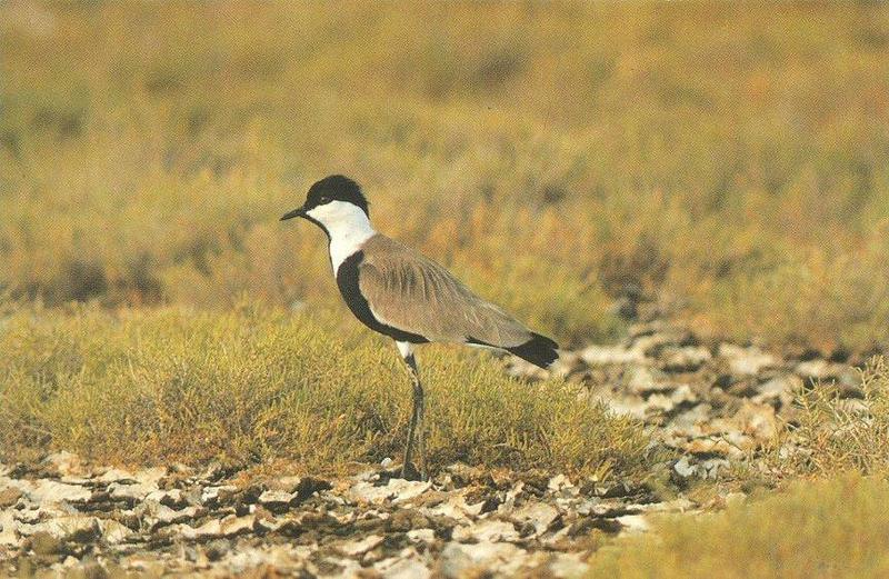 Spur-winged Lapwing (Vanellus spinosus) <!--검은머리민댕기물떼새-->; DISPLAY FULL IMAGE.
