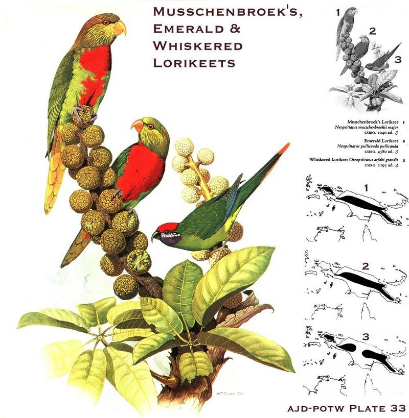 Musschenbroek's Lorikeet, Emerald Lorikeet, & Whiskered Lorikeet; DISPLAY FULL IMAGE.
