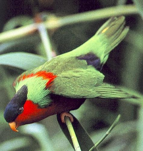 Black-capped Lory (Lorius lory) <!--검은머리진홍앵무-->; Image ONLY