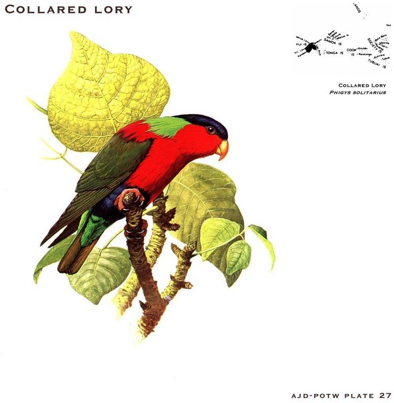 Collared Lory (Phigys solitarius) <!--목도리진홍앵무-->; DISPLAY FULL IMAGE.