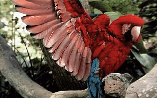 Green-winged Macaw (Ara chloropterus) <!--홍금강앵무-->; Image ONLY