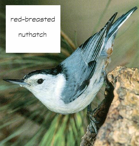 Red-breasted Nuthatch (Sitta canadensis) {!--캐나다동고비-->; Image ONLY