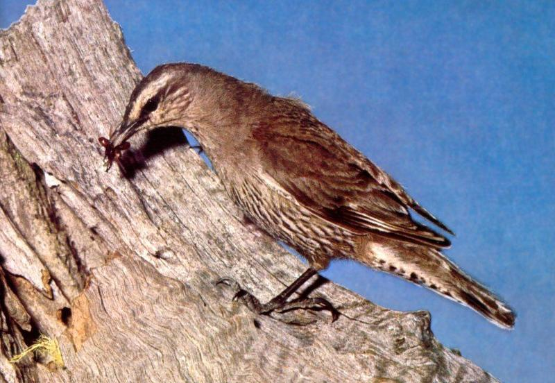 Brown Treecreeper (Climacteris picumnus) <!--갈색호주나무발발이-->; DISPLAY FULL IMAGE.
