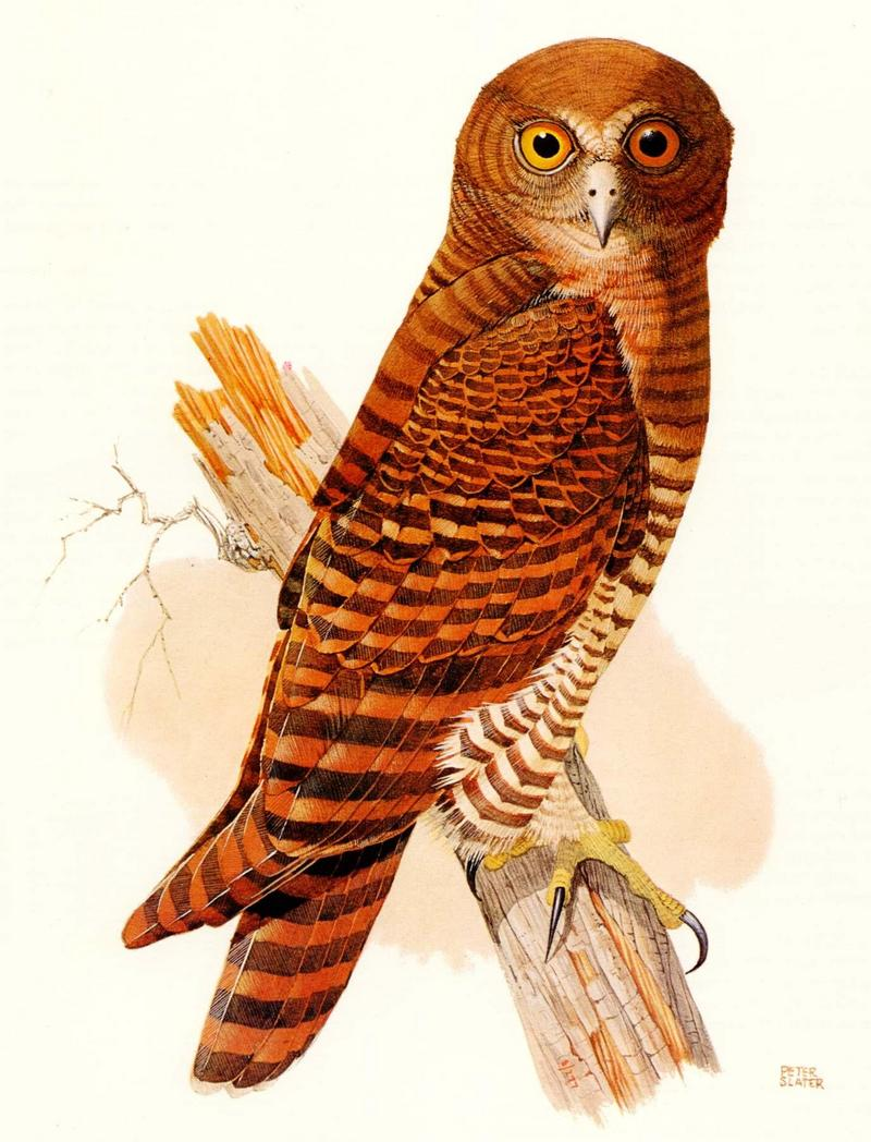 [Illust] Christmas Island Hawk Owl (Ninox squamipila natalis) <!--뱀털솔부엉이-->; DISPLAY FULL IMAGE.