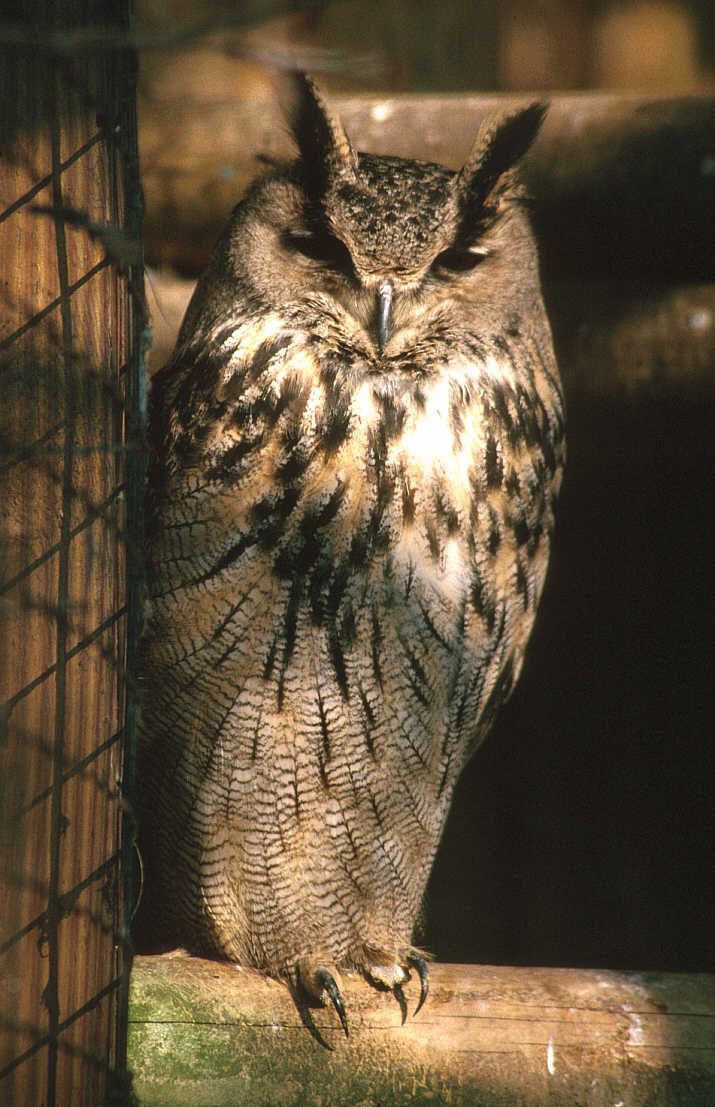 Long-eared Owl (Asio otus) <!--칡부엉이-->; Image ONLY