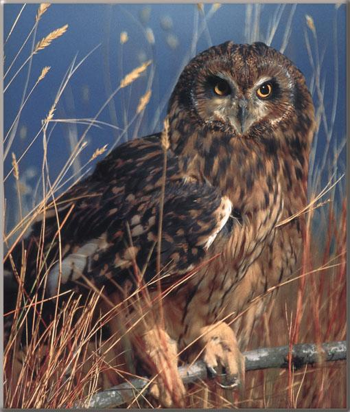 Short-eared Owl (Asio flammeus) <!--쇠부엉이-->; Image ONLY