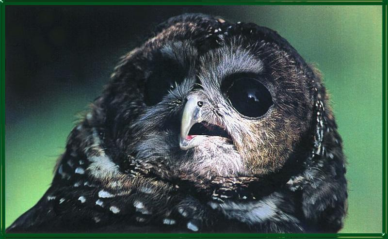 Northern Spotted Owl (Strix occidentalis caurina) <!--점박이올빼미-->; Image ONLY