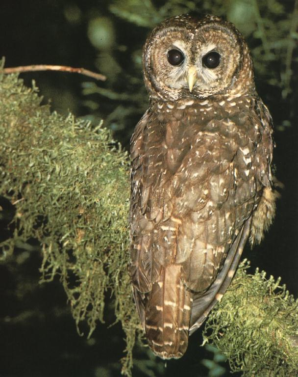 Spotted Owl 01.jpg